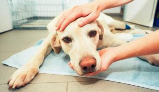 Síntomas de la anestesia en perros