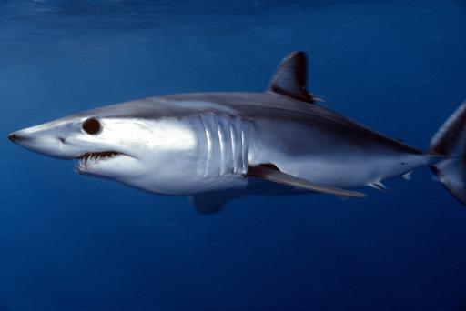 Tamaño del tiburón Mako