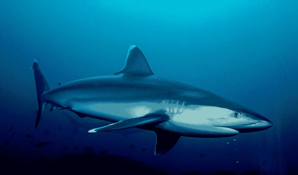 Tamaño y peso del tiburón puntas plateadas