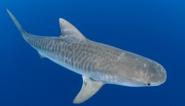 Tamaño y peso del tiburón tigre