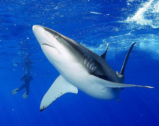 Tiburón Galápago y buceador