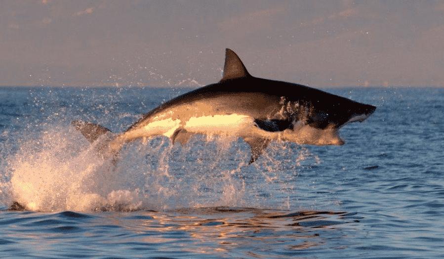 Tiburón Mako saltando sobre el agua