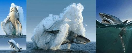 Tiburón blanco saltando en el mar