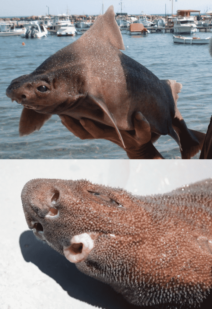 Tiburón cerdo marino espinoso