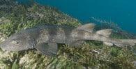 Tiburón ciego azulado