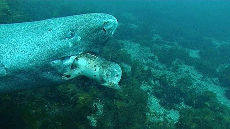 Tiburón de Groenlandia comiendo una presa