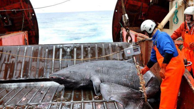 Tiburón de Groenlandia en peligro de extinción