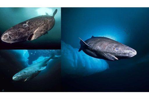 Tiburón de Groenlandia más antiguo 512 años