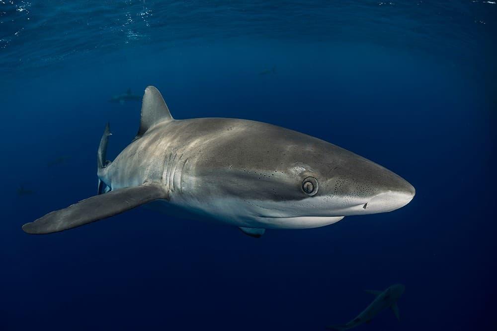 Tiburón de las Islas Galápagos