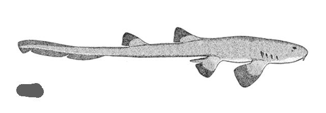 Tiburón pintarroja colilarga birmana