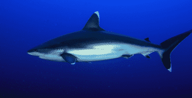 Tiburón puntas plateadas