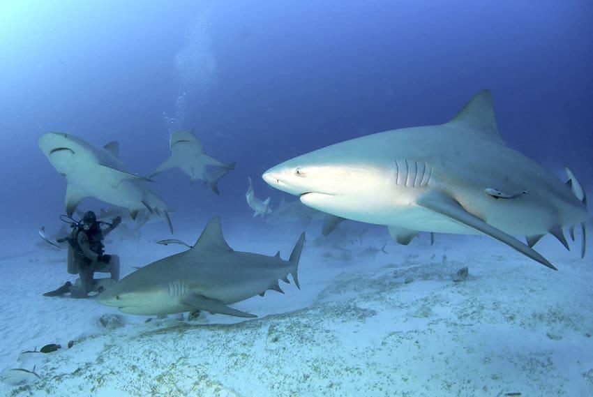 Tiburón toro con buceadores