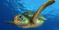 Tortugas bobas