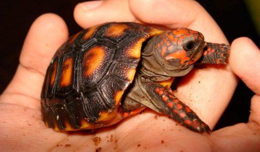 Tortugas carbonaria
