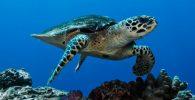 Tortugas carey