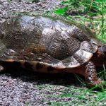Tortugas del bosque