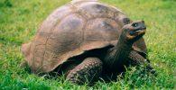 Tortugas gigantes galápagos