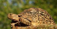 Tortugas leopardo