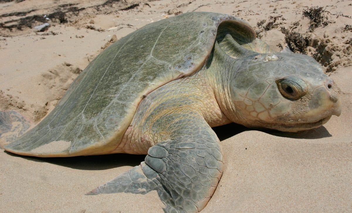 Tortugas loras