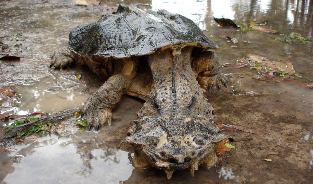 Tortugas matamata