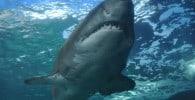 Un tiburón acecha a una nadadora en Florida