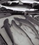 Venta de tiburón lechoso