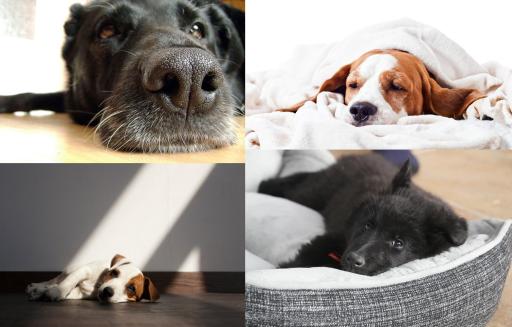 Vomito amarillo en perros