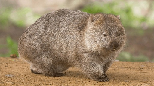 adorable uómbat se rasca el trasero al ritmo 'wiggle, wiggle'