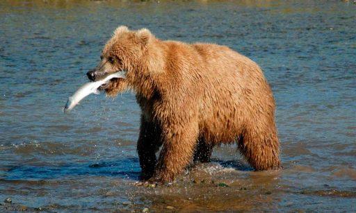 alimentación de los osos