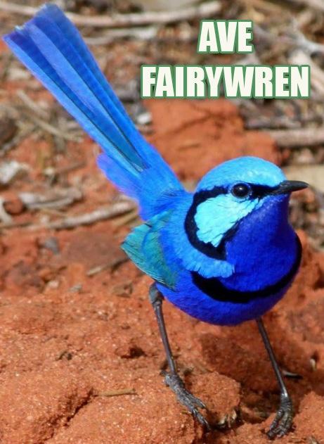 Ave Fairywren Exótica
