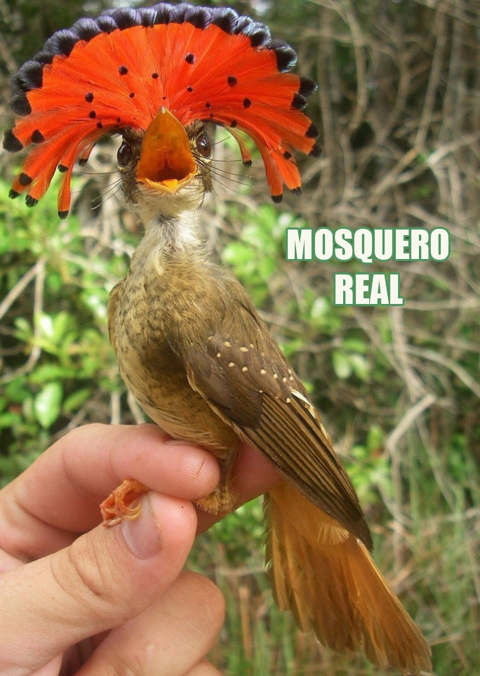 Ave Mosquero Real Royal Flycatcher