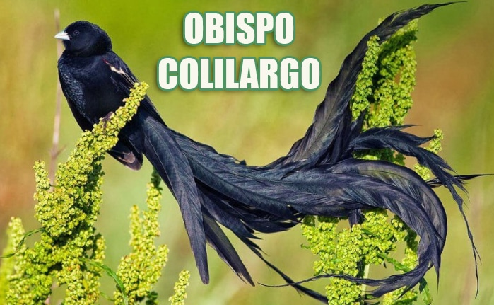 Ave Obispo Colilargo