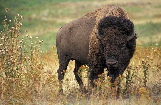 Búfalo desierto