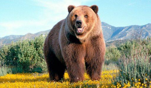 características generales de los osos