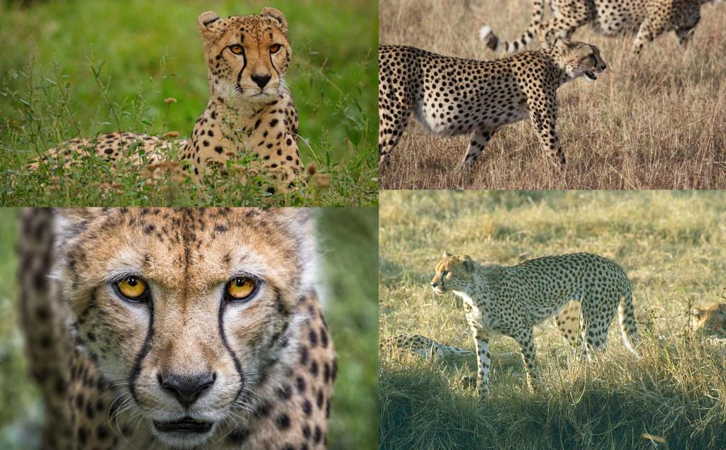 Características guepardo