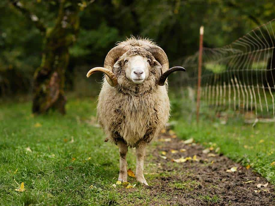 oveja macho