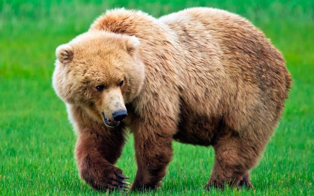 comportamiento de los osos
