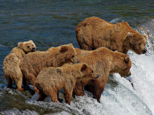 comunicación de los osos