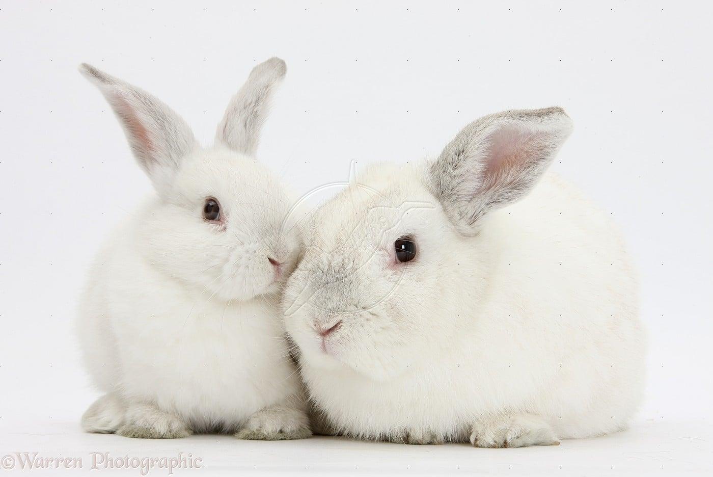 conejos blancos