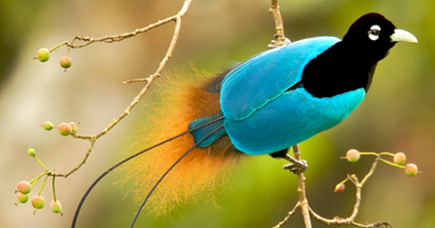 Hábitat del ave del paraíso