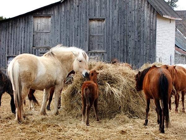 Heno caballos