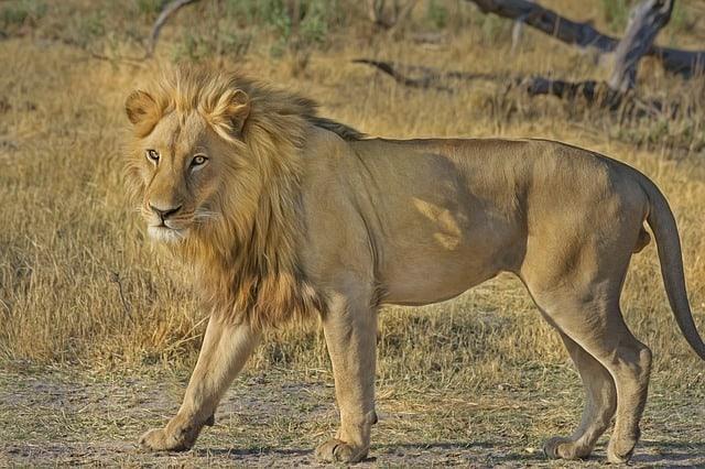 León en desierto