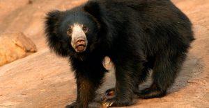 oso labiado