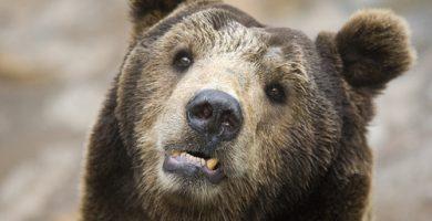oso tibetano