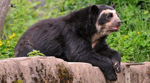 osos de anteojos