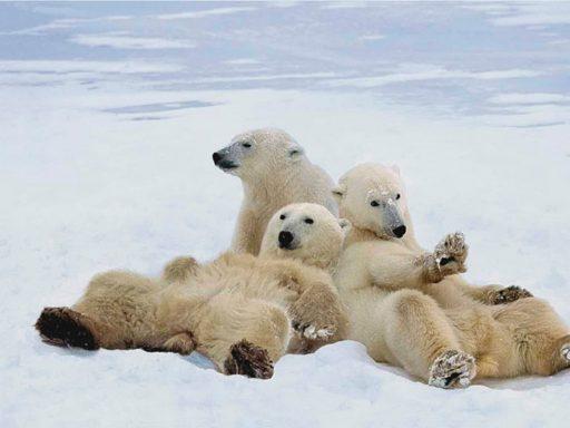 osos en peligro de extinción