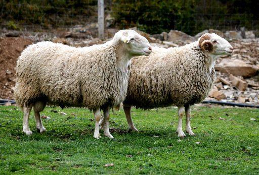 oveja macho vs hembra diferencia