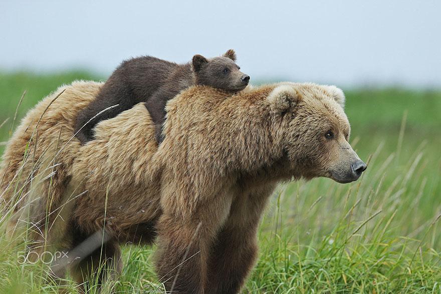 Reproducción de los osos