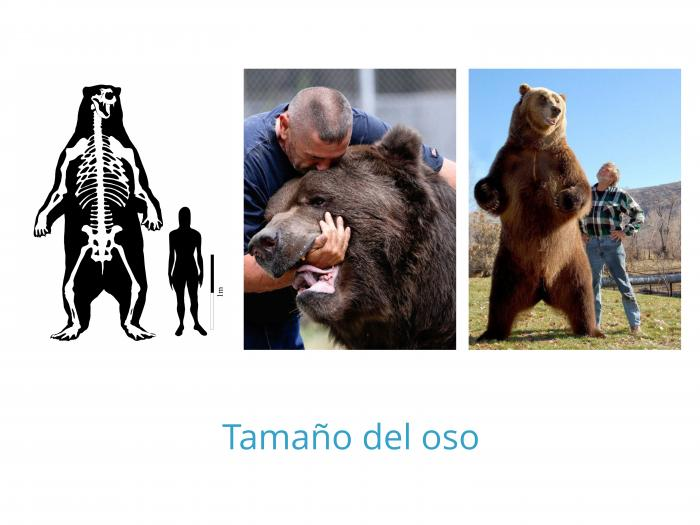 Tamaño del oso