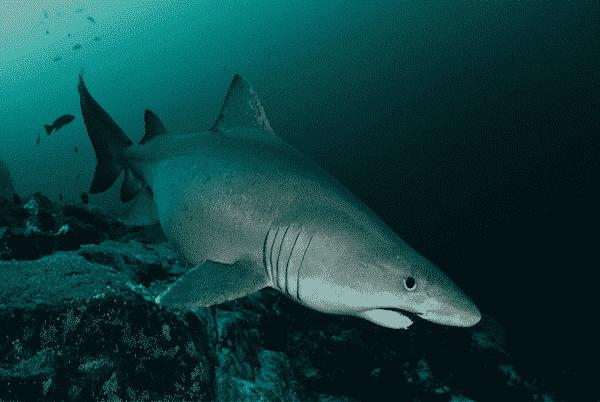 Tiburón de arena